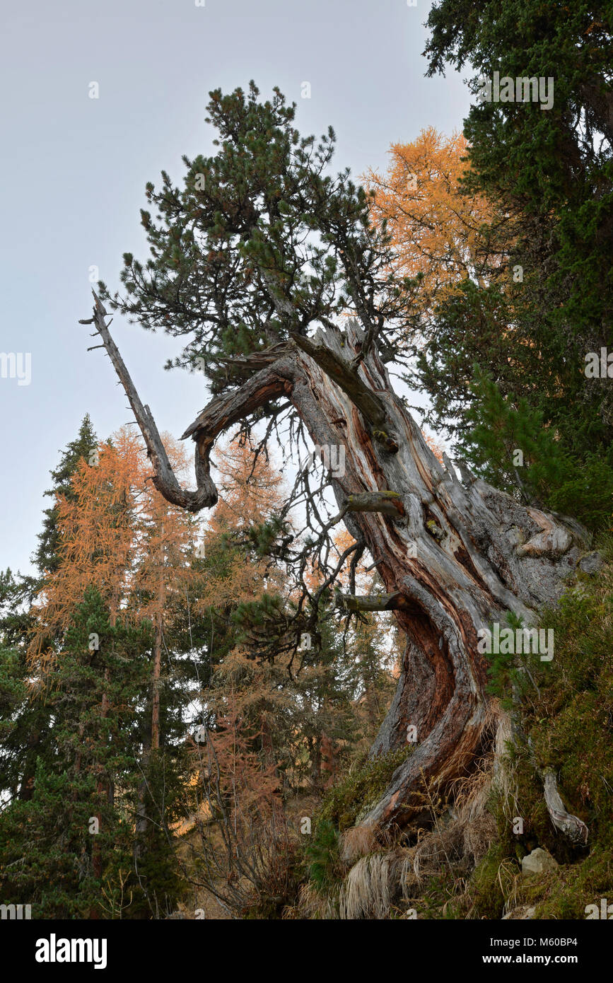 Old-growth forest with larches and stone pines (Pinus cembra) in autumn. Samnaun Alps, Tyrol, Austria Stock Photo