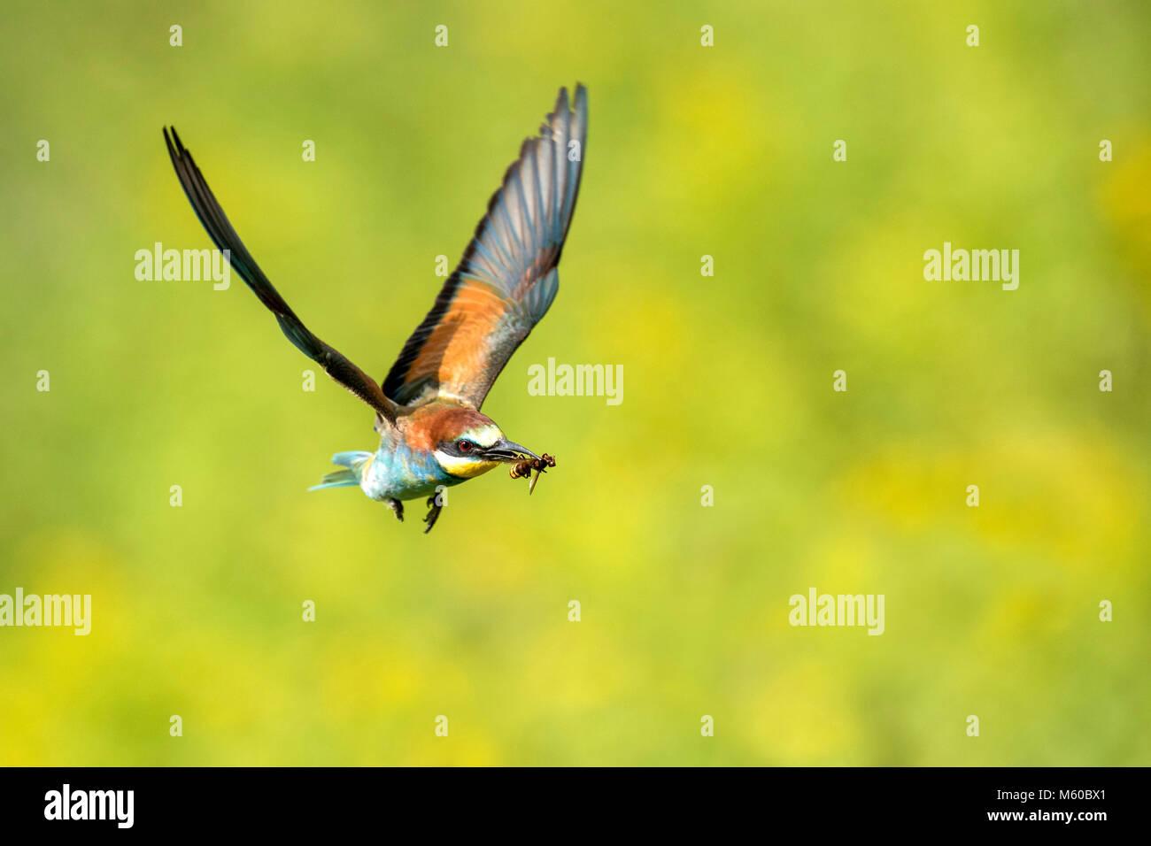 European Bee-eater (Merops apiaster) with prey in flight. Austria Stock Photo
