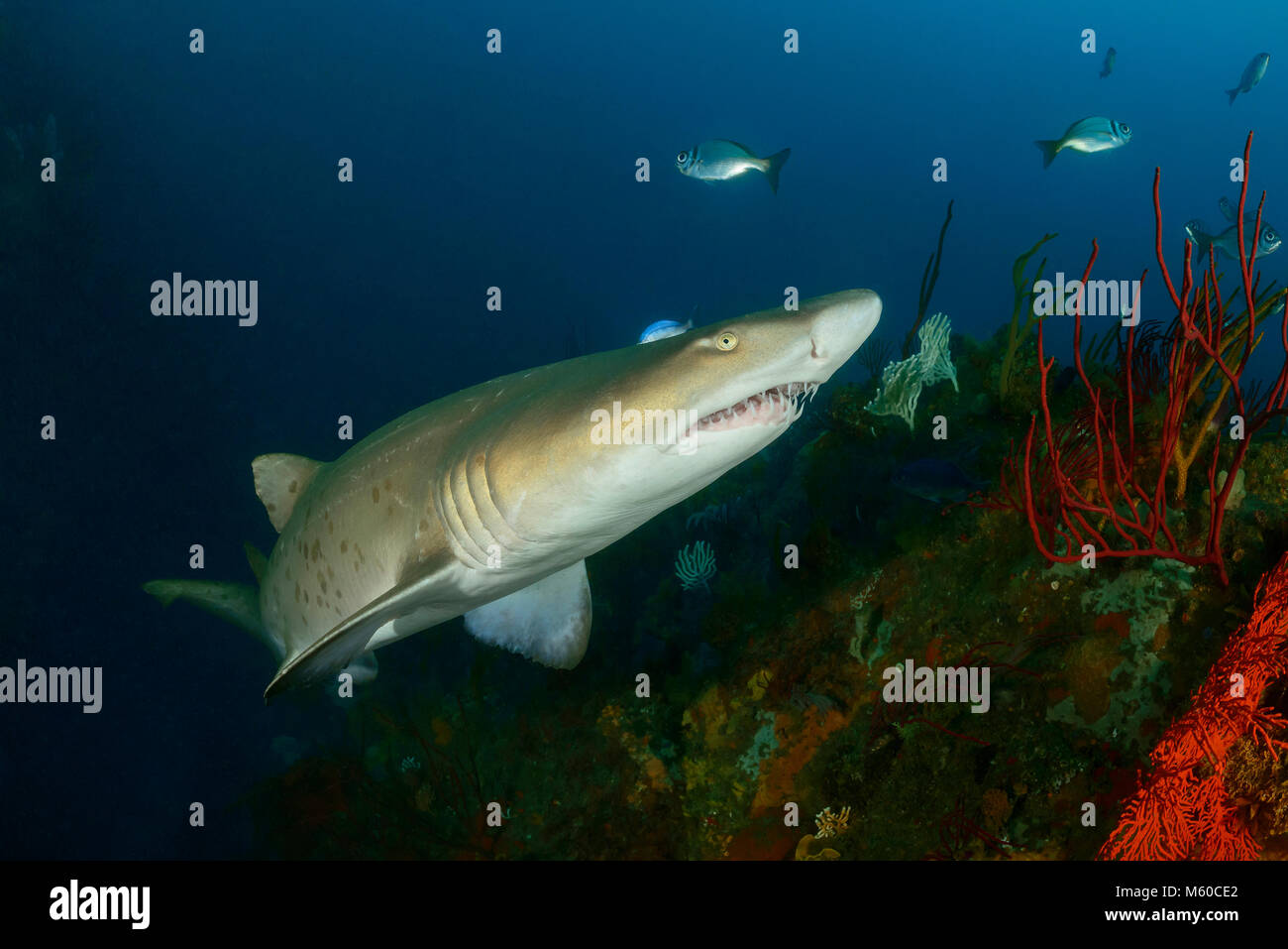 Sand Tiger Shark (Carcharias taurus). South Africa, Porth Elisabeth, Indian Ocean, MR Yes - Stock Image