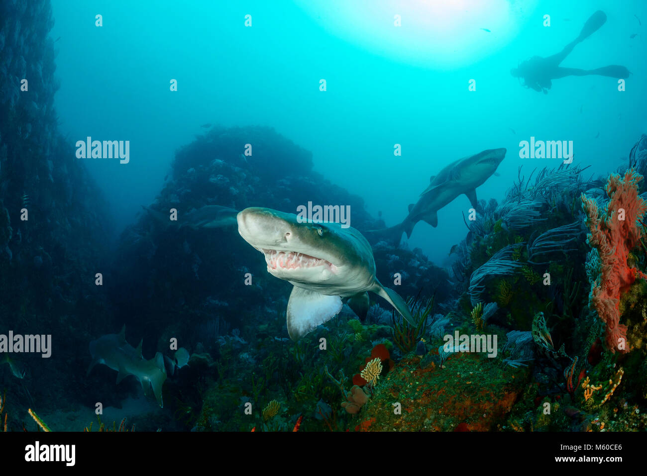 Sand Tiger Shark (Carcharias taurus) and scuba diver. South Africa, Porth Elisabeth, Indian Ocean, MR Yes - Stock Image