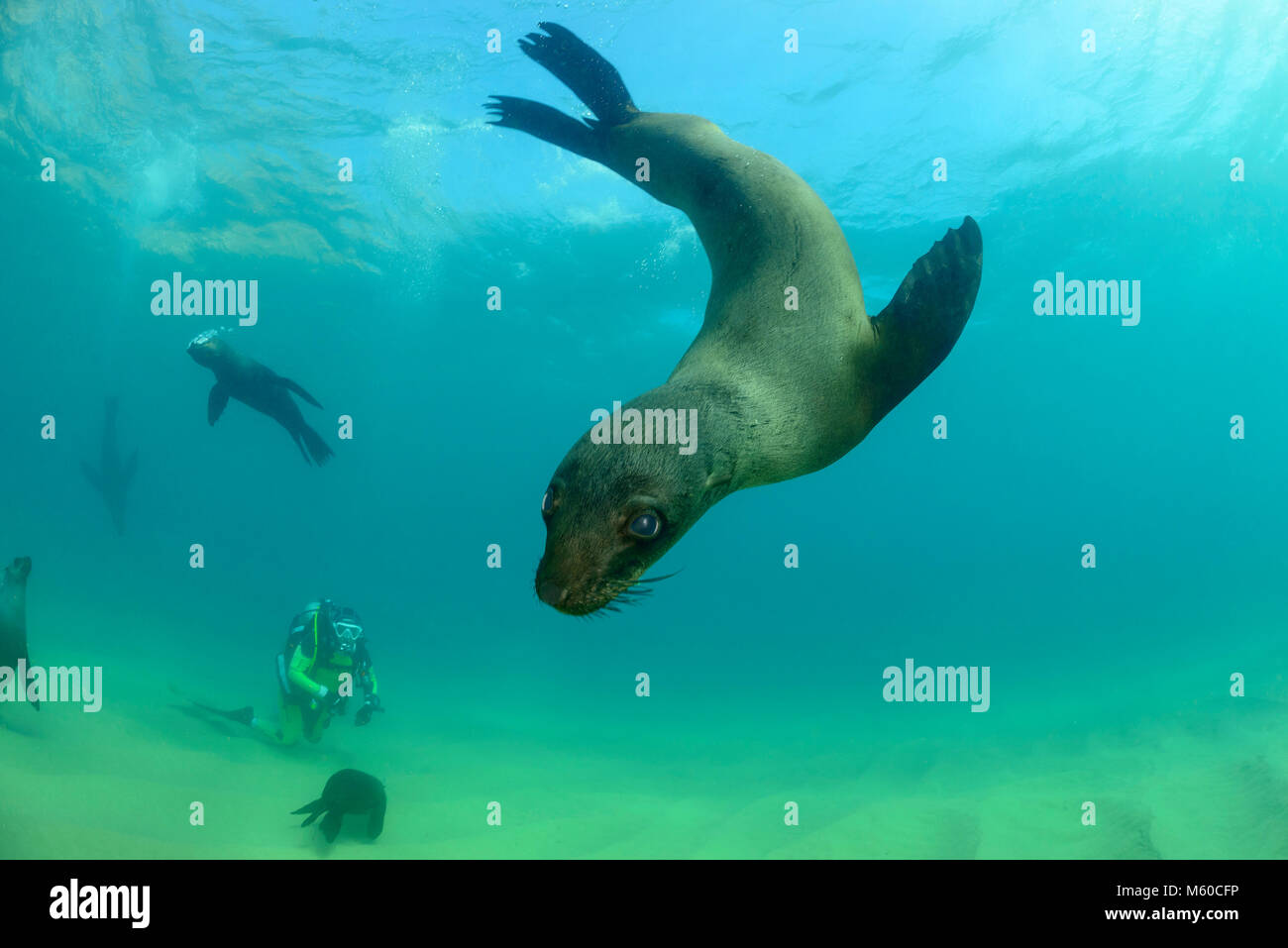 South African Fur Seal (Arctocephalus pusillus pusillus). Group with diver swimming underwater. South Africa, Plettenberg - Stock Image