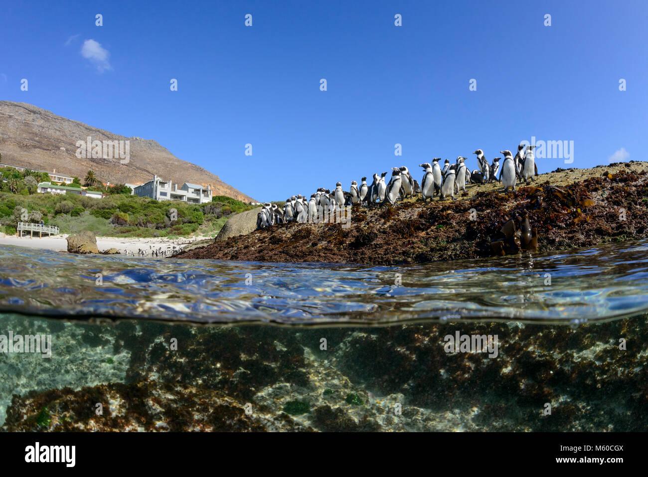 Jackass Penguin, African Penguin (Spheniscus demersus). Group standing on the shore, splitlevel picture. Simons - Stock Image