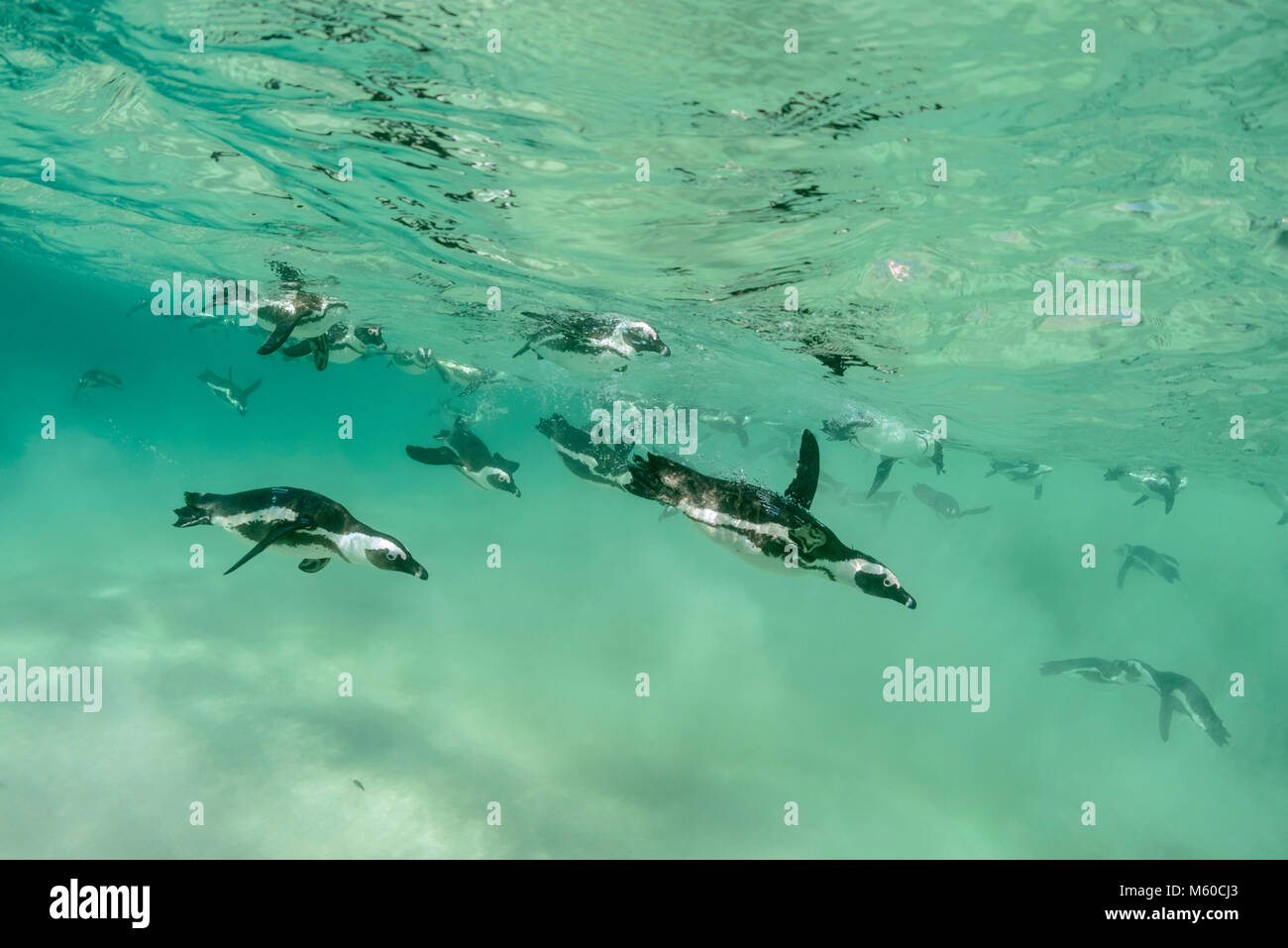 African Penguin (Spheniscus demersus). Group hunting under water. Boulders Beach, South Africa - Stock Image