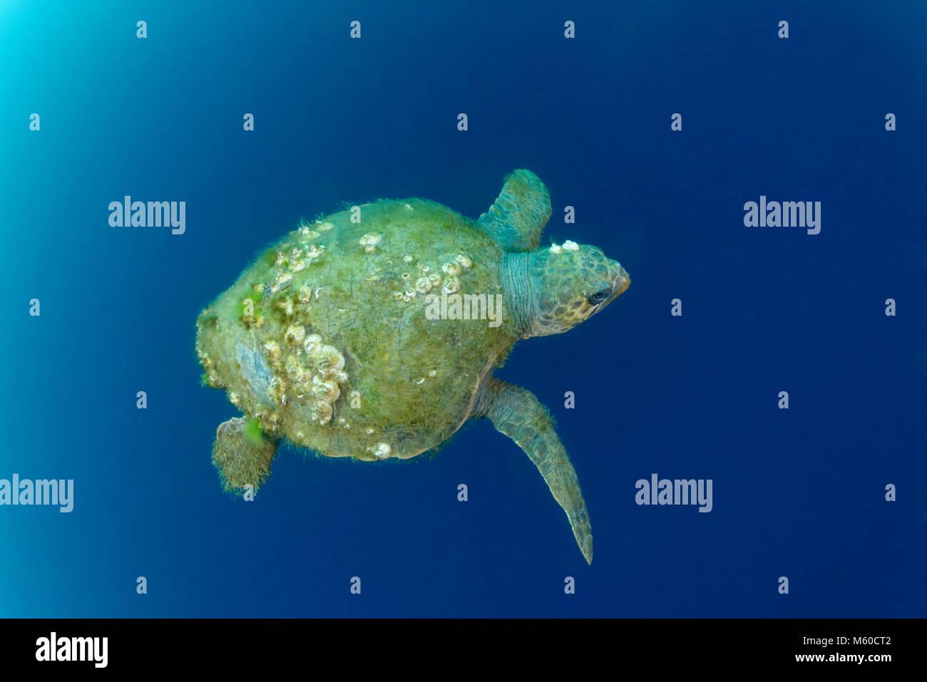 Old Loggerhead Sea turtle with Turtle barnacle. Mediterranean Sea, Croatia, Rovinj, Istria, Croatia - Stock Image