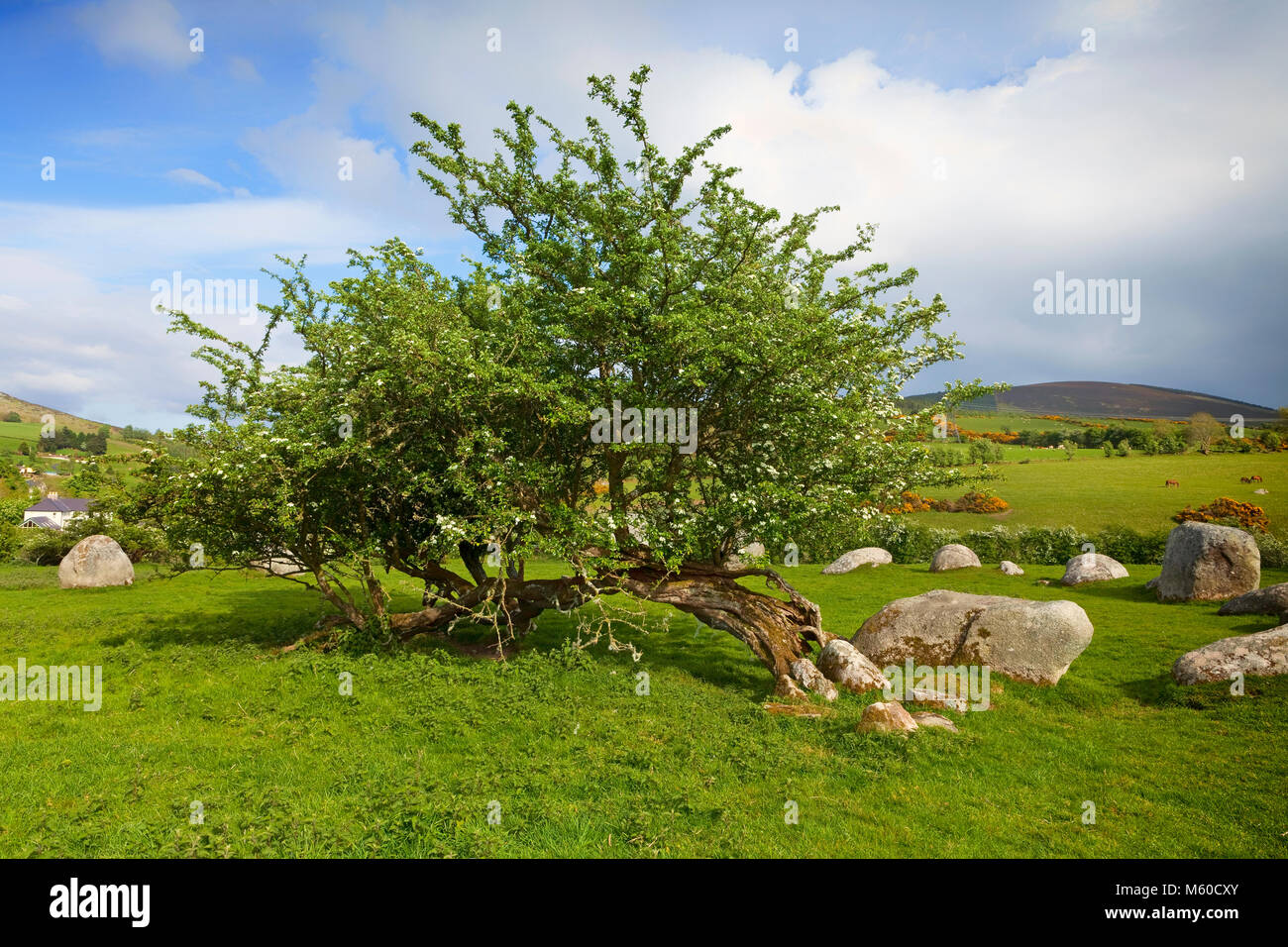Hawthorn tree and the Piper's Stone, Bronze Age Stone Circle (1400-800 BC) of 14 Granite Boulders, Near Hollywood, - Stock Image