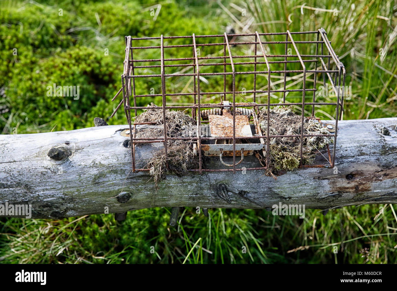 An Animal trap photographed on Kex moor Blubberhouses - Stock Image