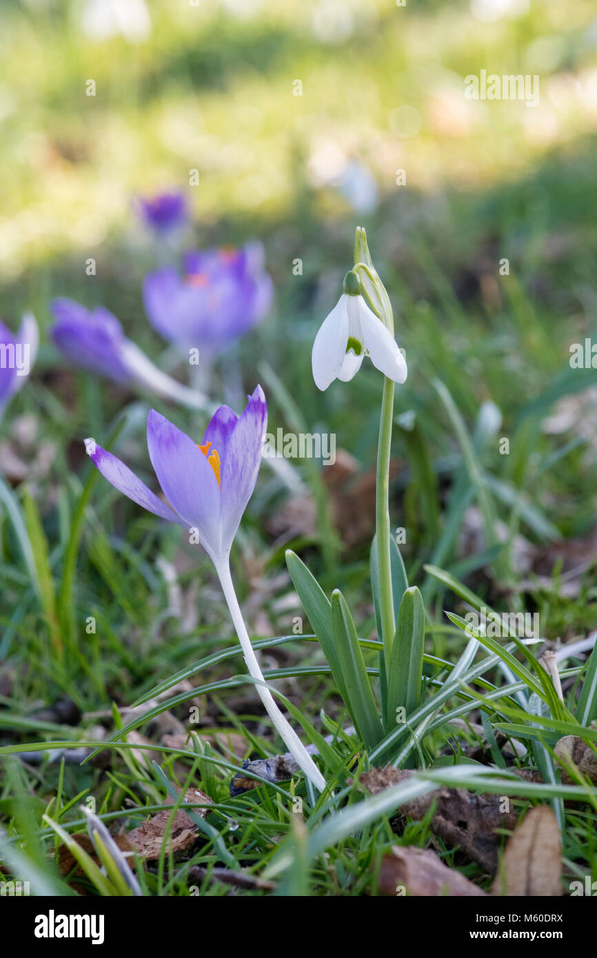 Galanthus. Snowdrop and crocus flower in february in an english garden. UK - Stock Image