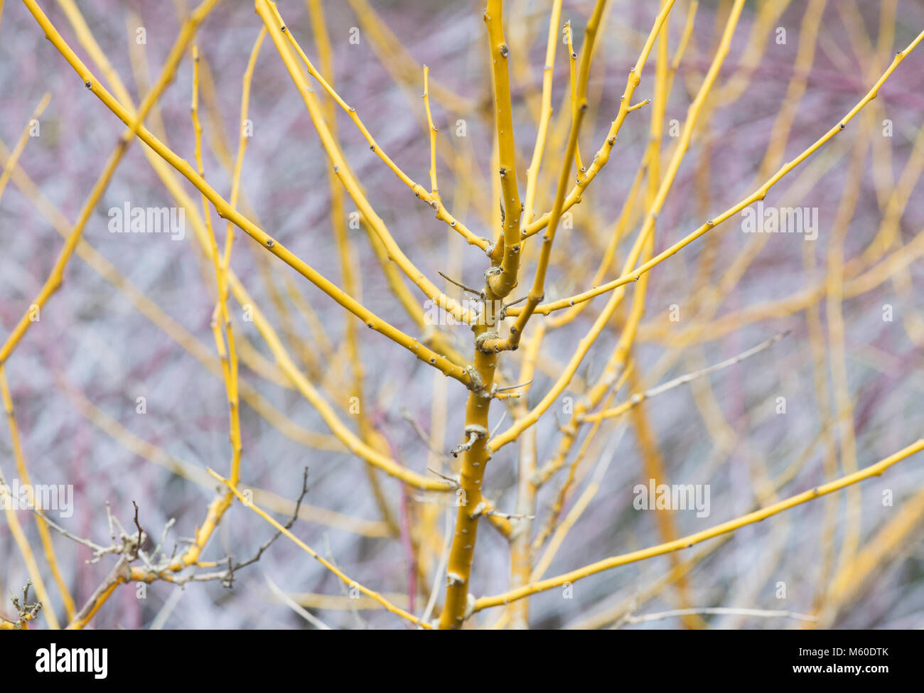 Styphnolobium japonicum. Japanese pagoda tree stems in winter. England - Stock Image