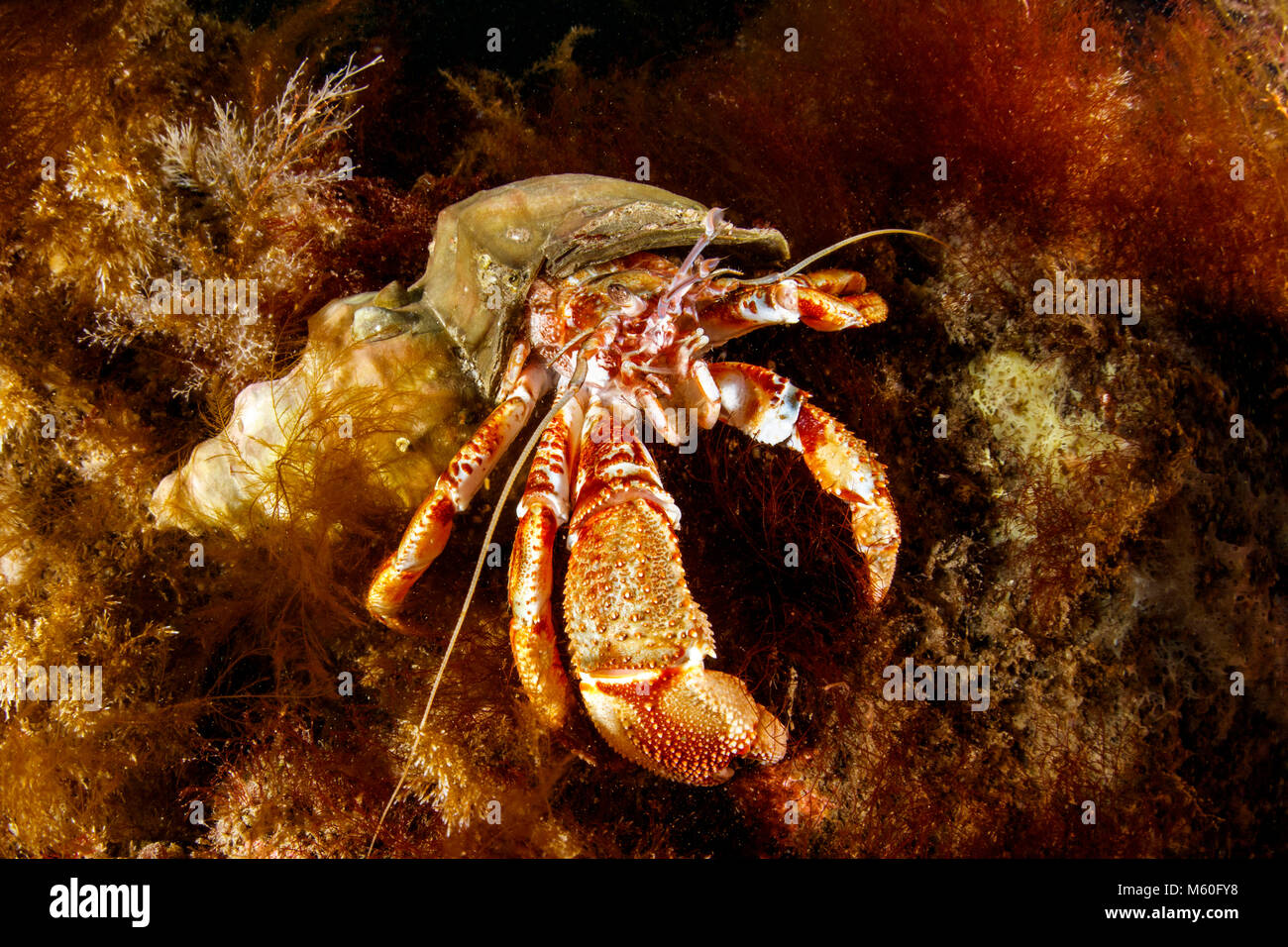 Common Hermit Crab, North Atlantic Ocean, Iceland - Stock Image