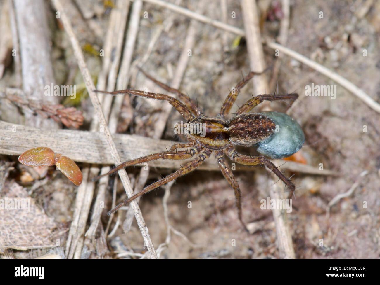 Female Wolf Spider carrying Egg Sac (Pardosa nigriceps). Lycosidae. Sussex, UK - Stock Image