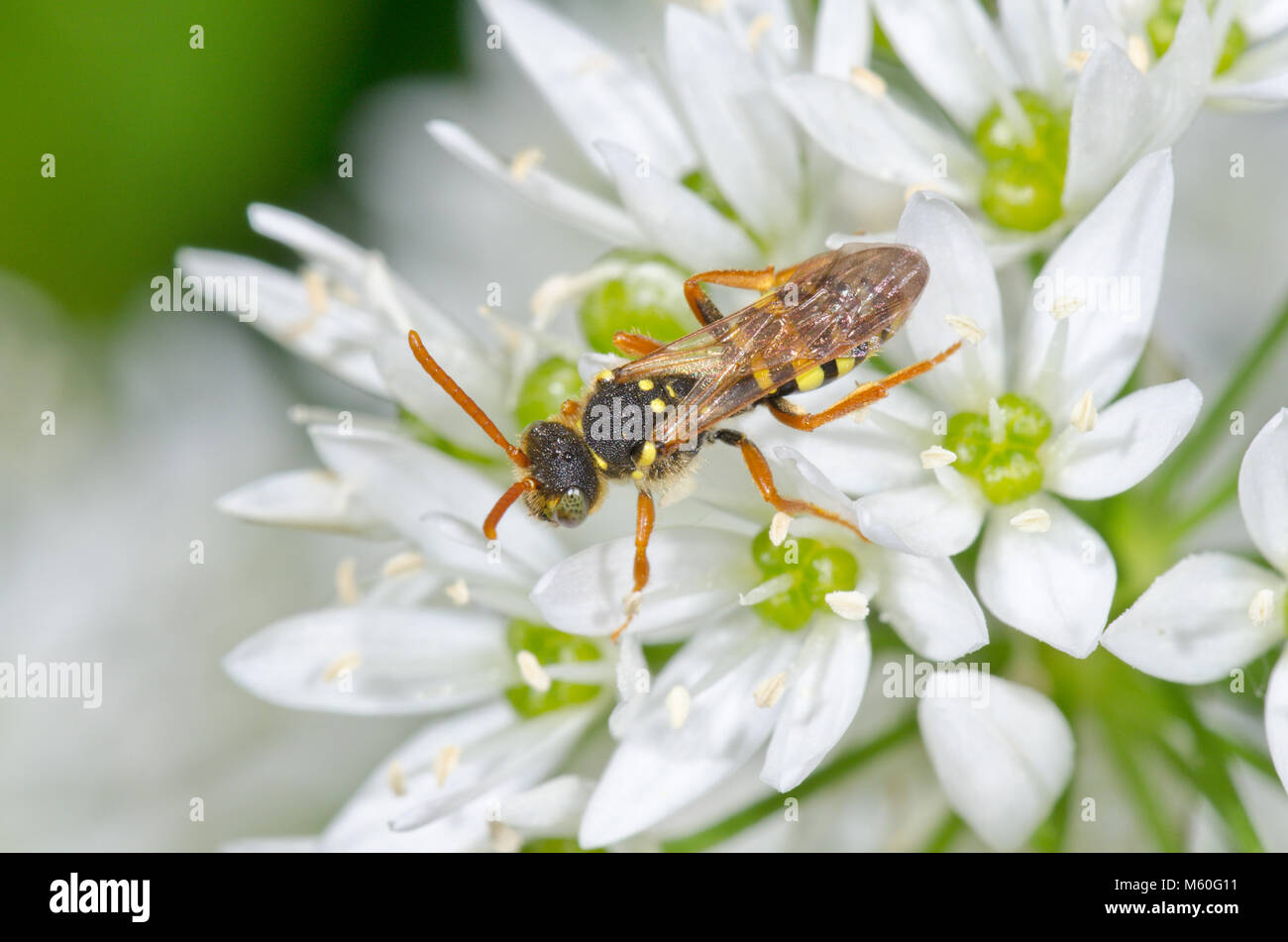 Goodens Nomad Cuckoo Bee (Nomada goodeniana) foraging on Wild Garlic in Sussex, UK - Stock Image
