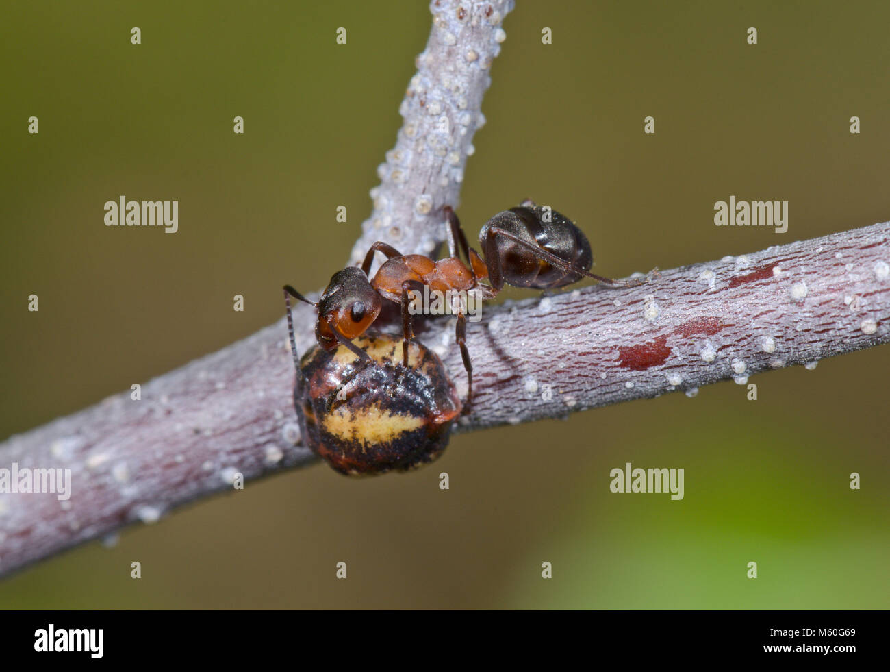 Nut Scale Insect (Eulecanium tiliae) attended by Wood Ant. Sussex, UK - Stock Image
