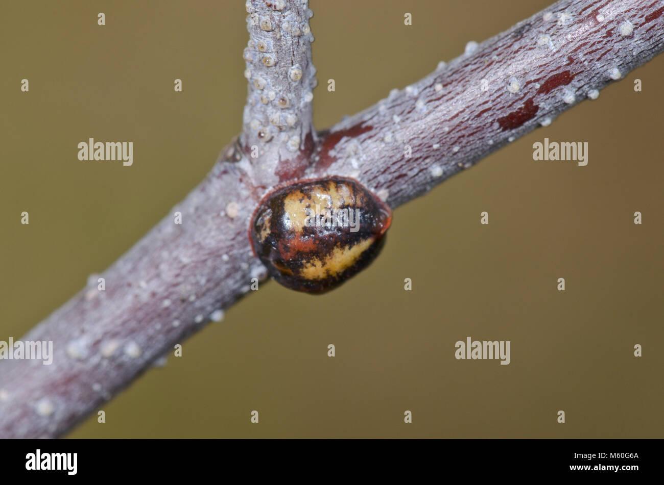 Nut Scale Insect ( Eulecanium tiliae ), Coccidae. Sussex, UK - Stock Image