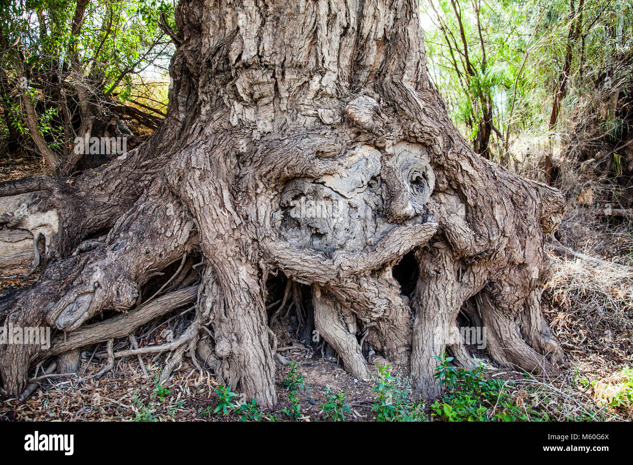 sculptured roots of a large gum tree on the banks of the Darling River at North Bourke, North West New South Wales, - Stock Image