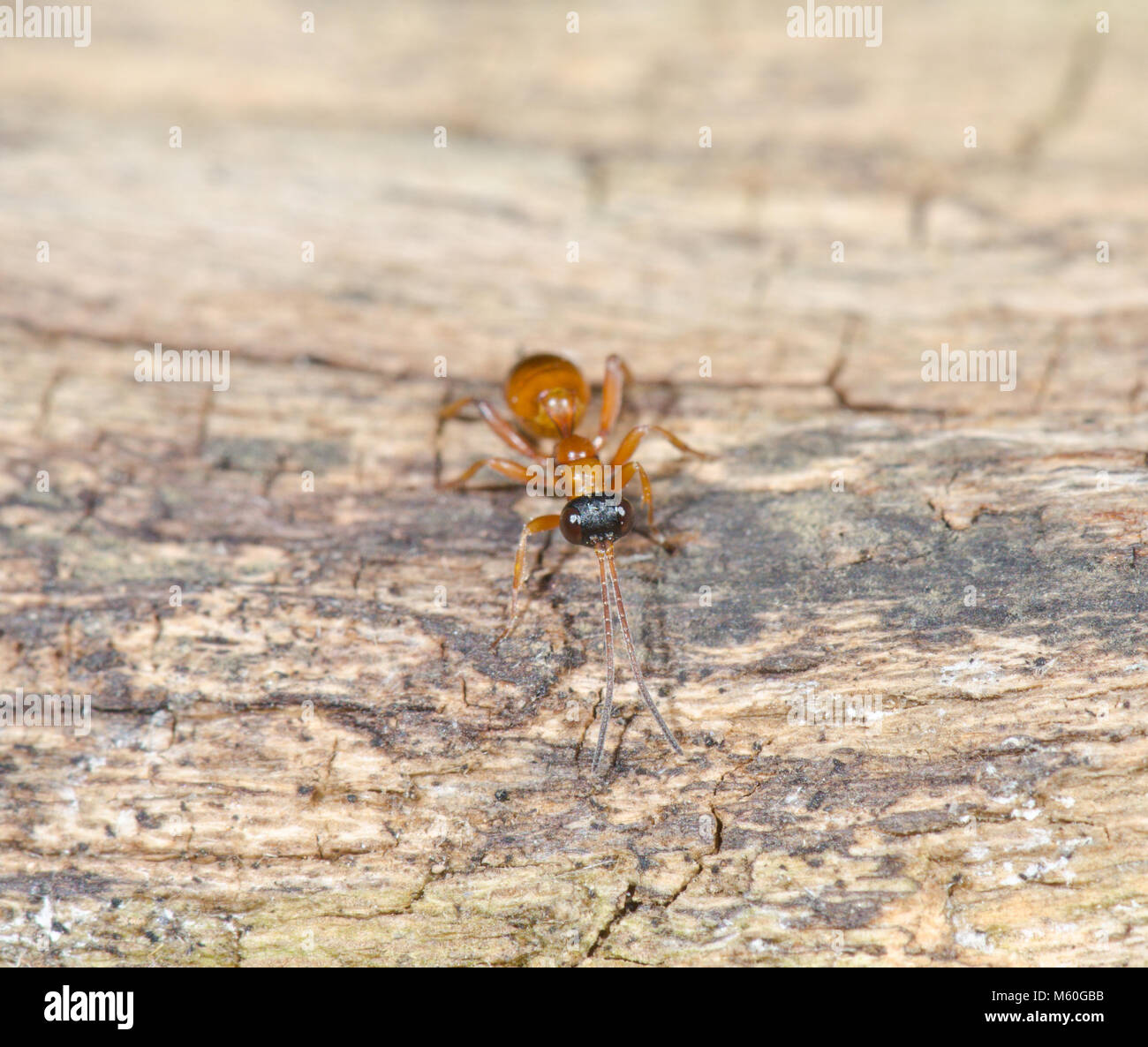 Wingless Ichneumon Wasp (Gelis sp). Sussex, UK Stock Photo