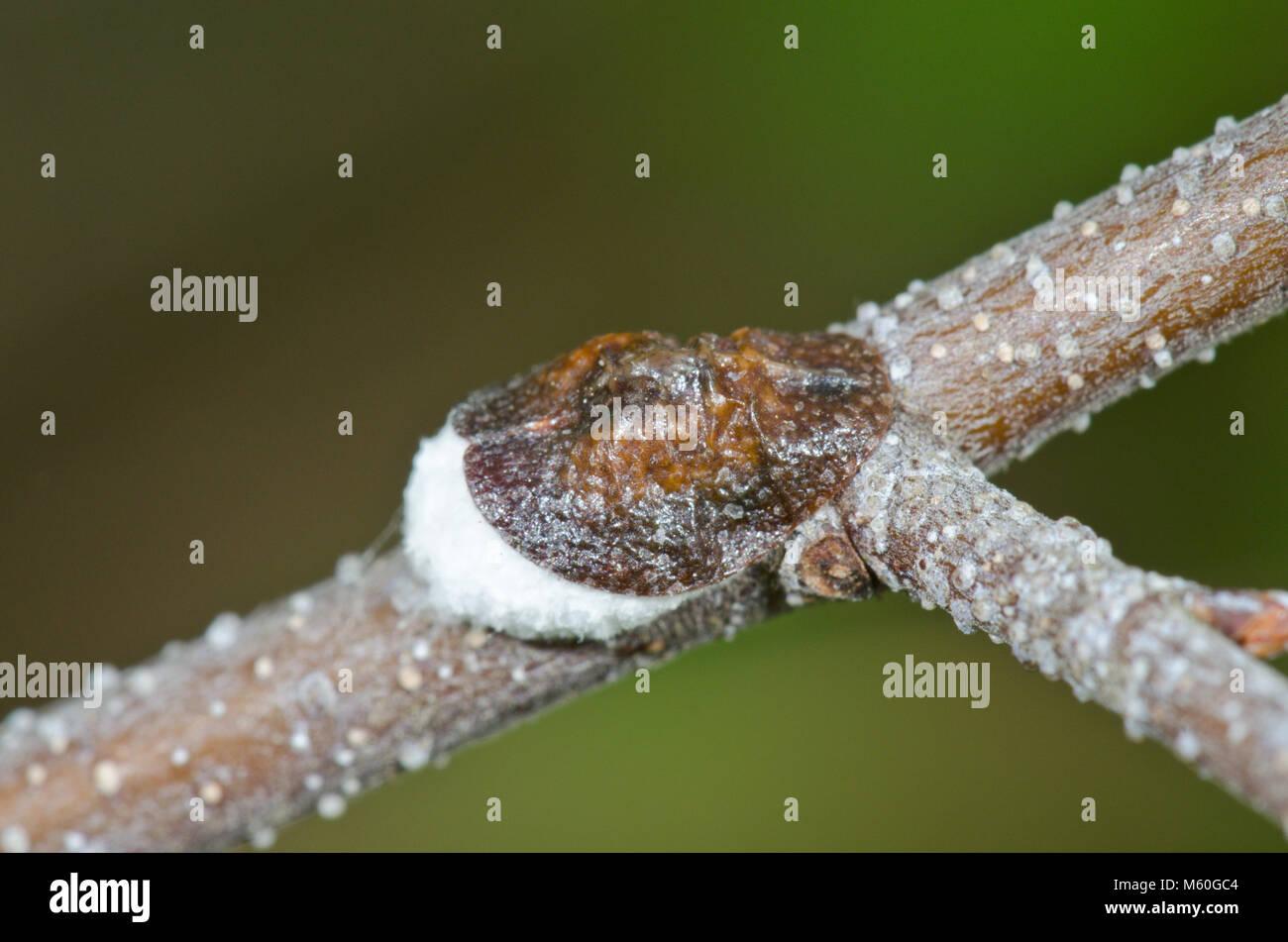 Cottony vine scale (Pulvinaria vitis), Coccidae. Sussex, UK - Stock Image