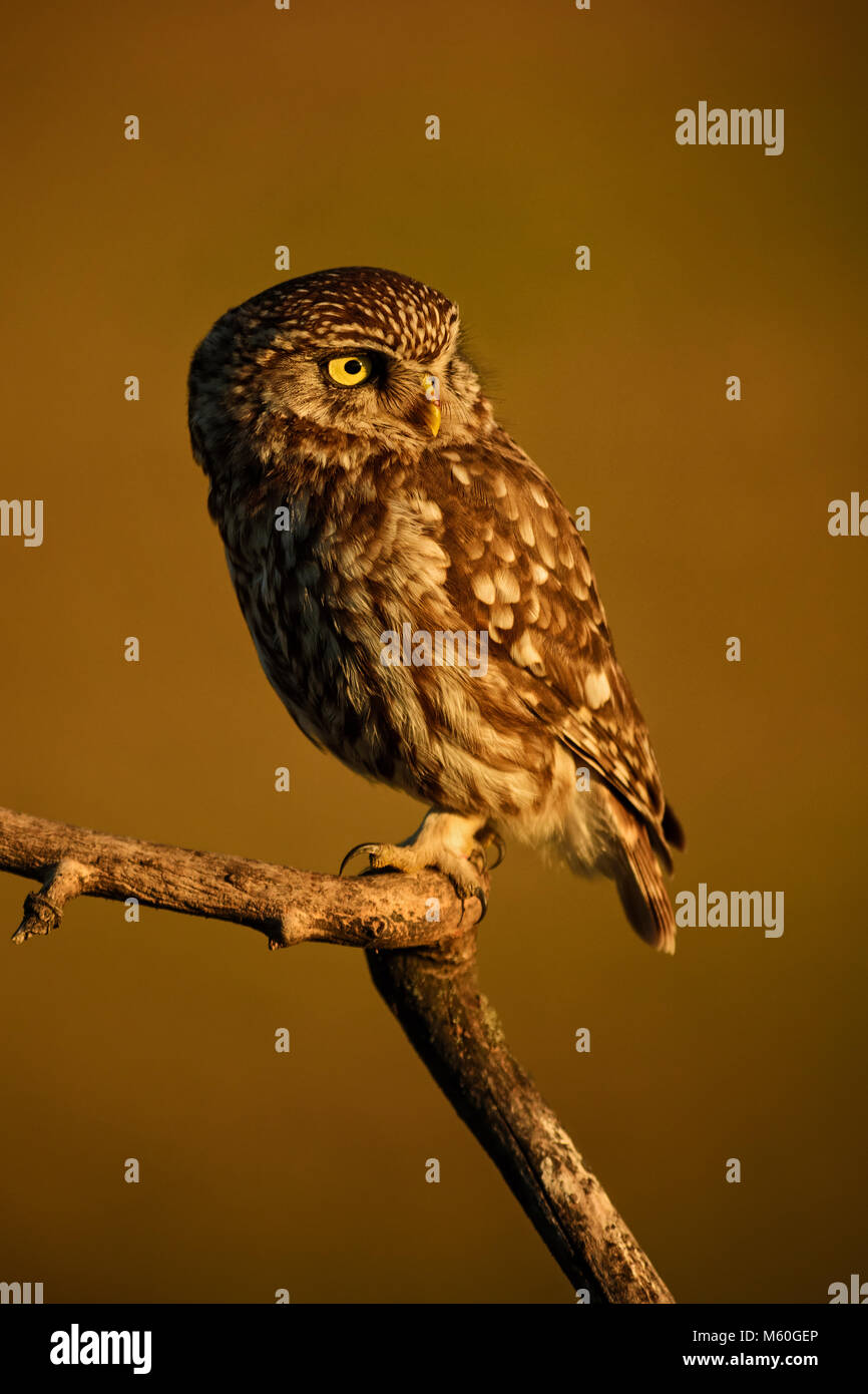 Little Owl - Athene noctua, small beautiful owl from European forest sitting on the branch in nice evening golden - Stock Image