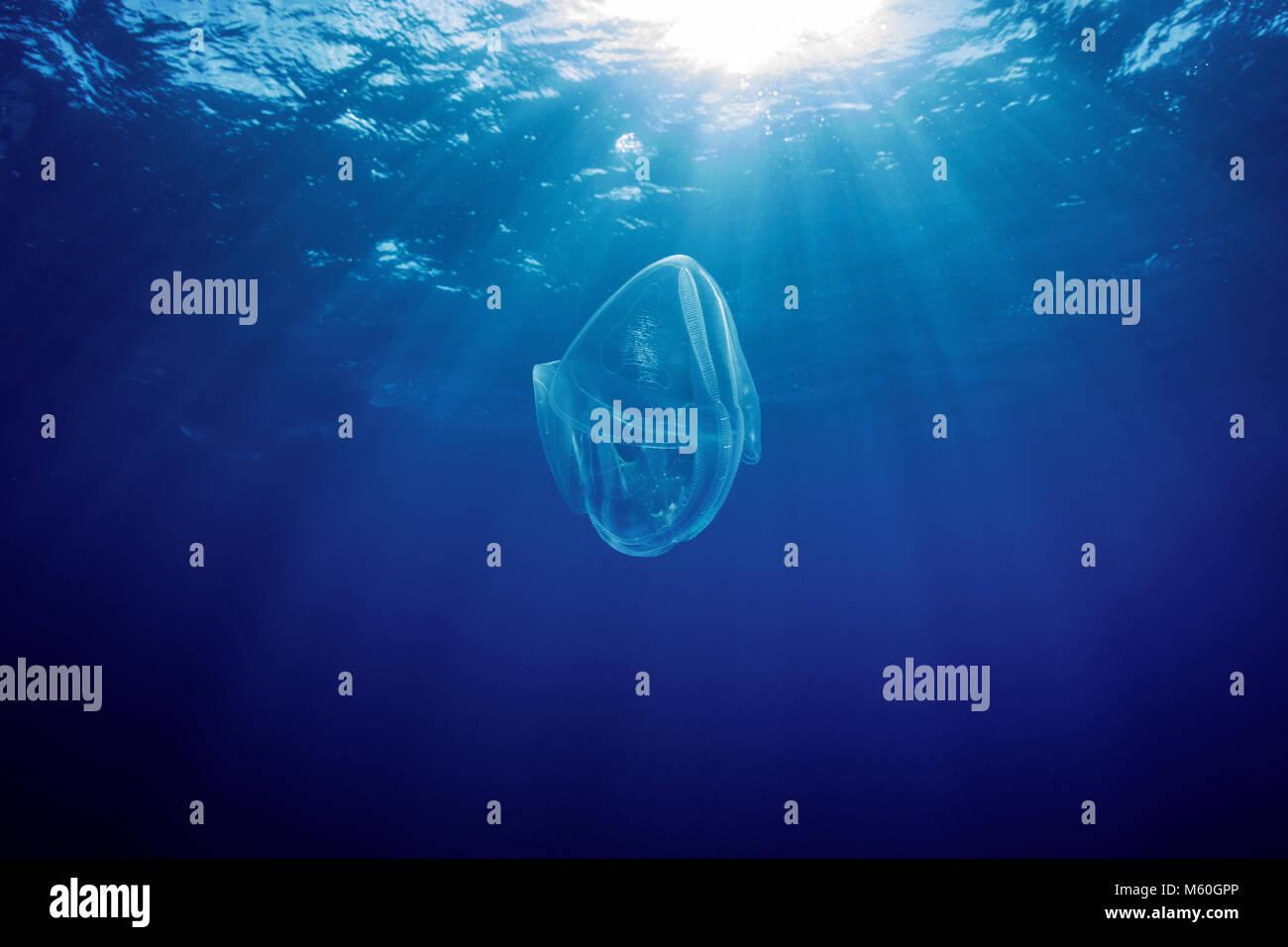 Comb Jelly drifting in open sea, Ctenophora, Roca Partida, Revillagigedo Islands, Mexico - Stock Image