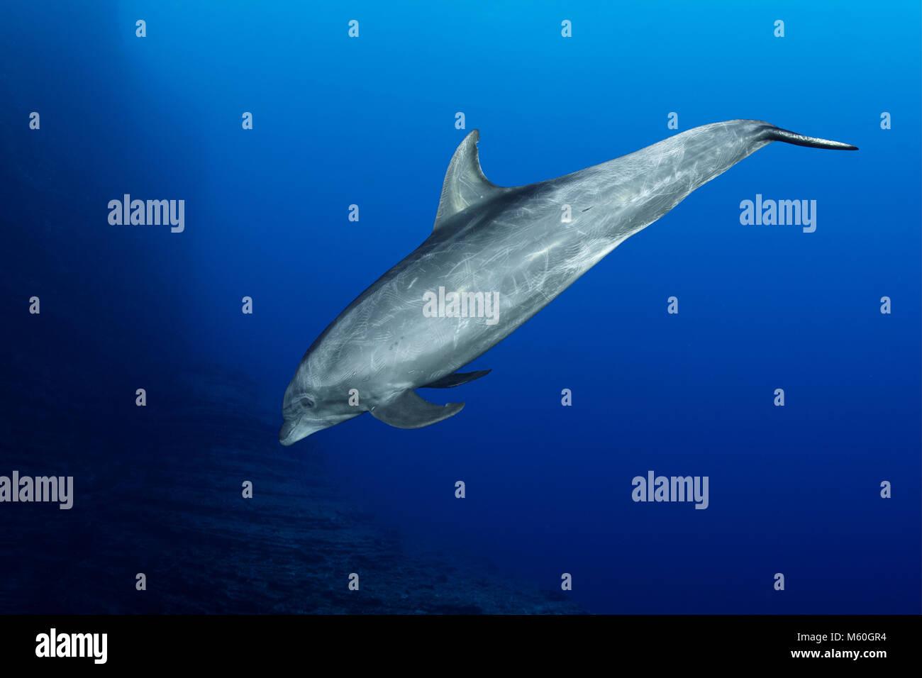 Bottlenose Dolphin, Tursiops truncatus, Roca Partida, Revillagigedo Islands, Mexico - Stock Image