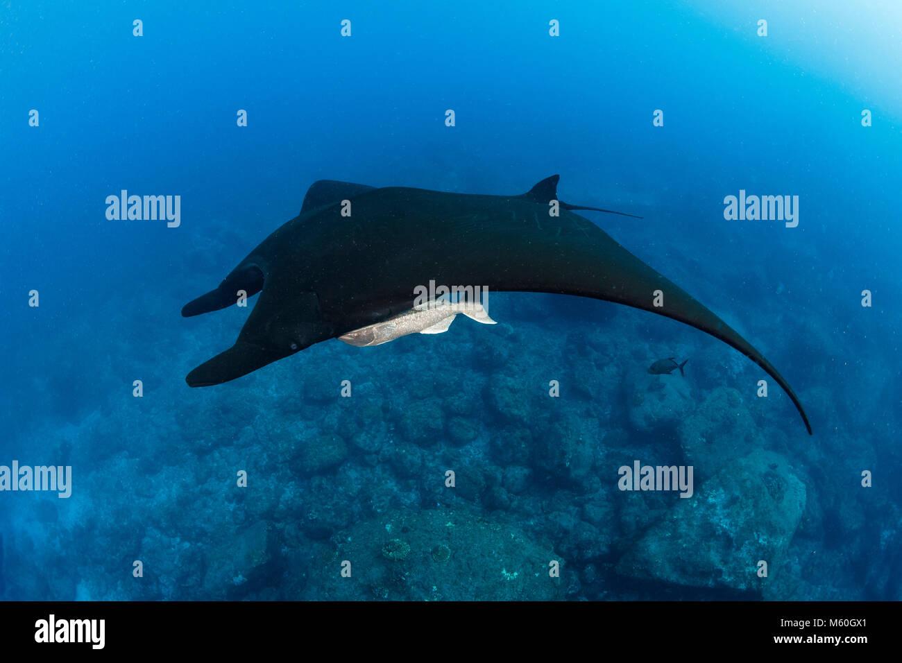 Giant Manta Ray, Manta birostris, San Benedicto Island, Revillagigedo Islands, Mexico Stock Photo