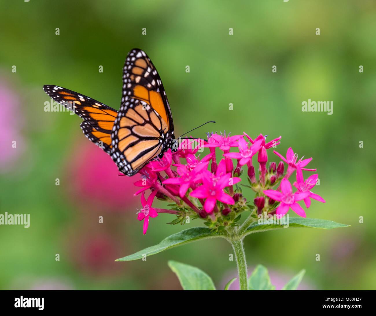 Monarch butterfly feeding on Milkweed flowers Stock Photo