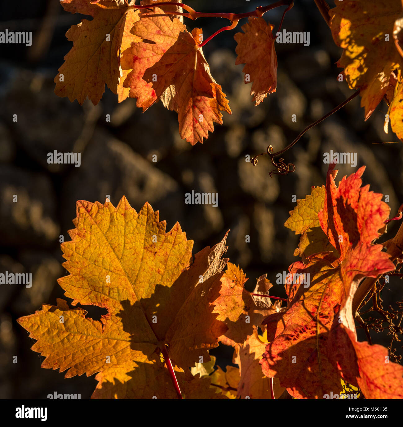Colourful autumn leaves on grape vine near Beira, Alentejo, Portugal Stock Photo