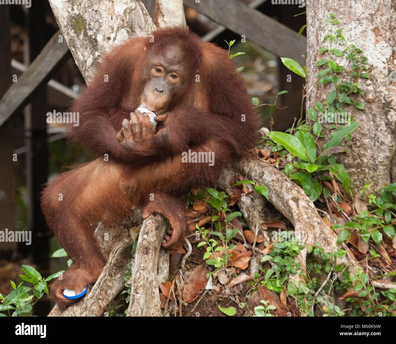 Wild Bornean Orangutan (Pongo pygmaeus) young male eating food out of discarded jar, and grasping the jar's - Stock Image