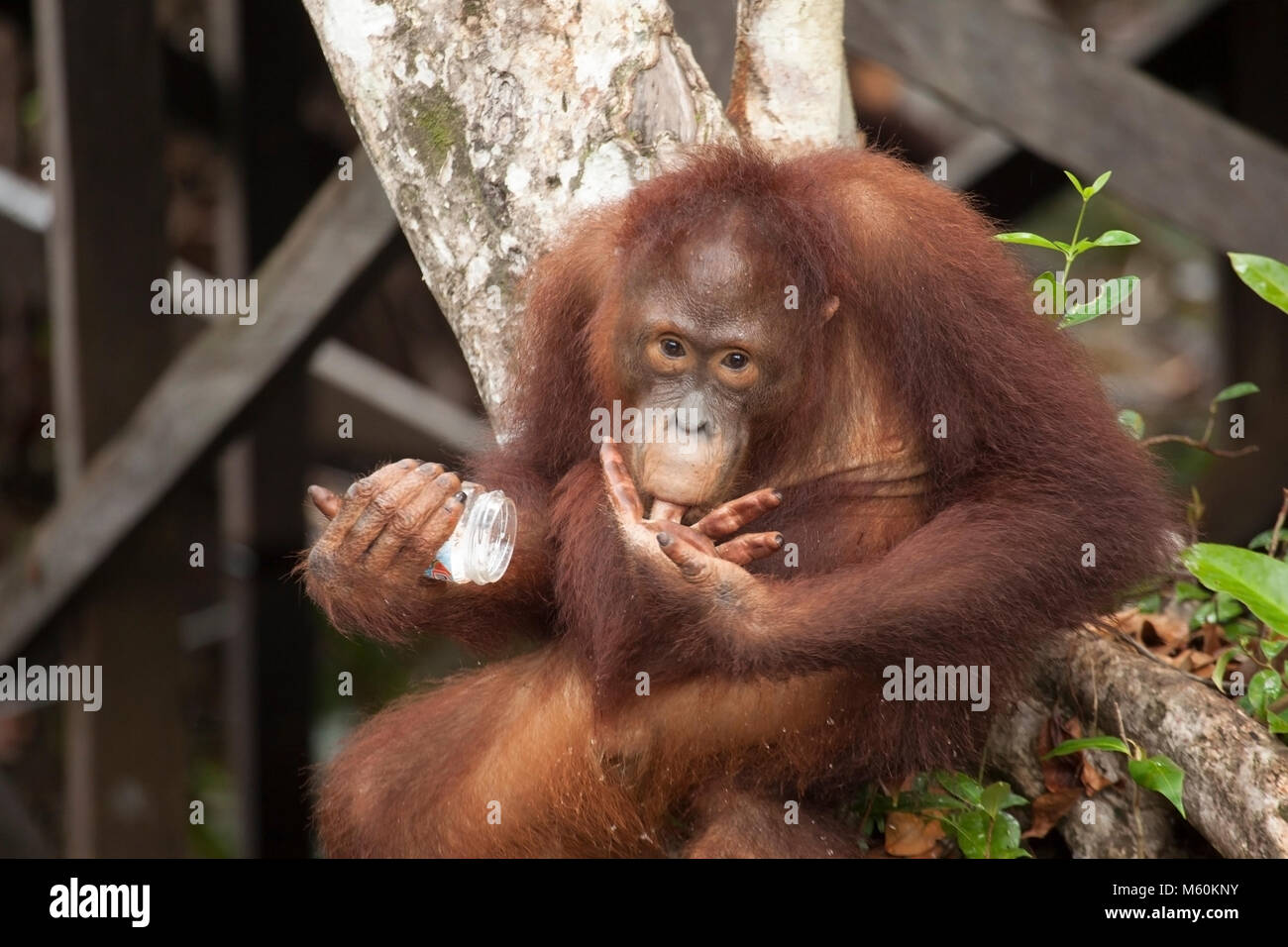 Wild Bornean Orangutan (Pongo pygmaeus) young male licking finger with food from discarded jar - Stock Image