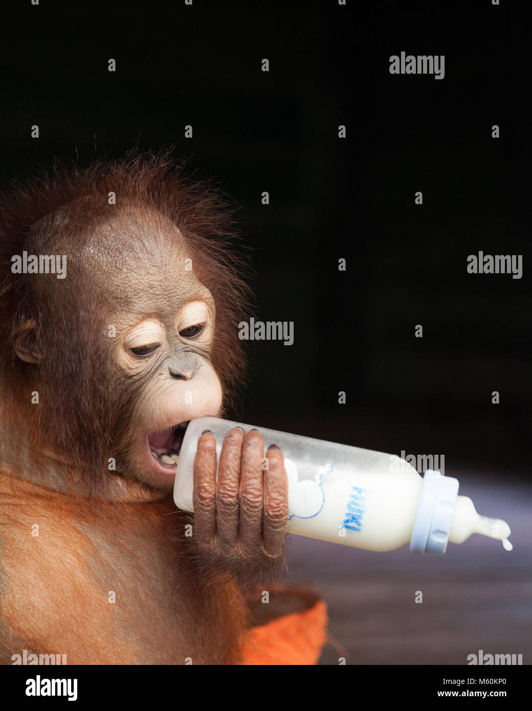 Rescued two year old baby orphan orangutan chewing on the wrong end of the bottle in the Orangutan Care Center - Stock Image