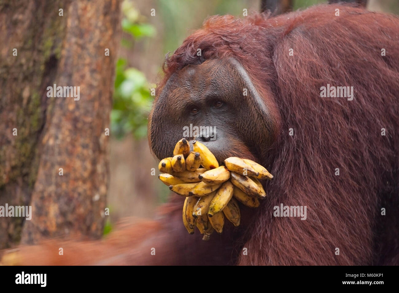 Wild orangutan dominant male (Pongo pygmaeus) with mouth stuffed full of bananas from Camp Leaking feeding station - Stock Image