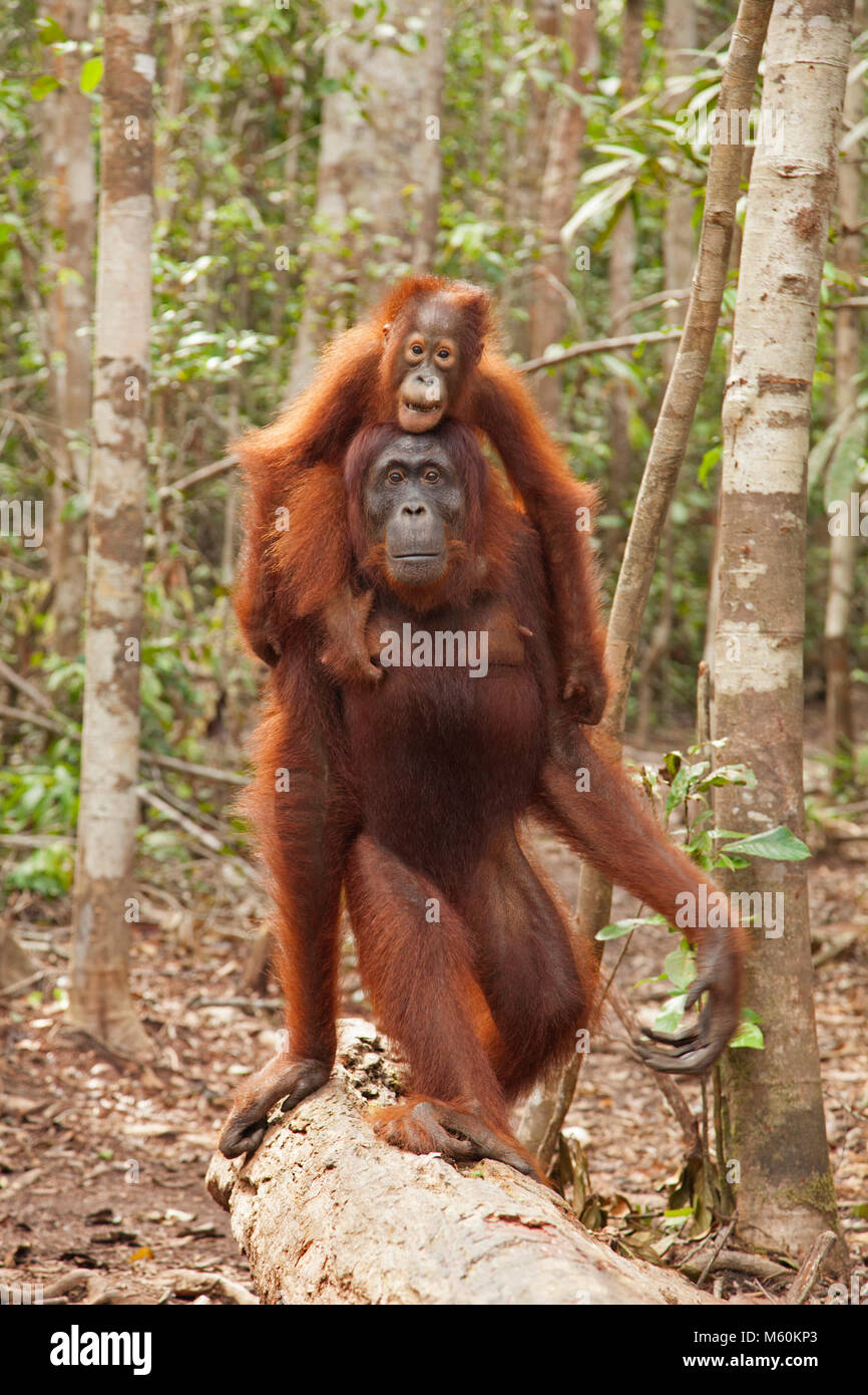 Wild orangutan (Pongo pygmaeus) mother walking through tropical rainforest trees carrying baby on her back in Tanjung Stock Photo