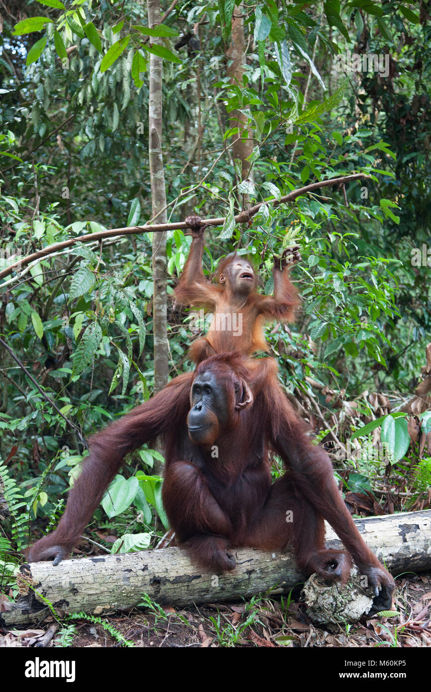 Two year old wild Bornean orangutan (Pongo pygmaeus) standing on mother's head to reach leaves on branch  in - Stock Image