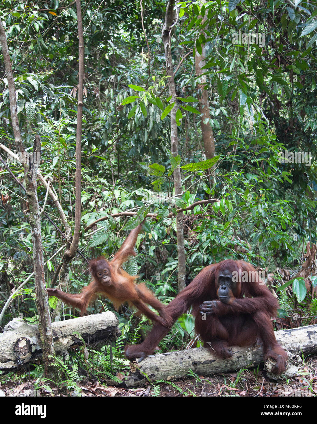 Two year old wild Bornean orangutan (Pongo pygmaeus) standing on mother's arm as she sits on a log in Tanjung - Stock Image