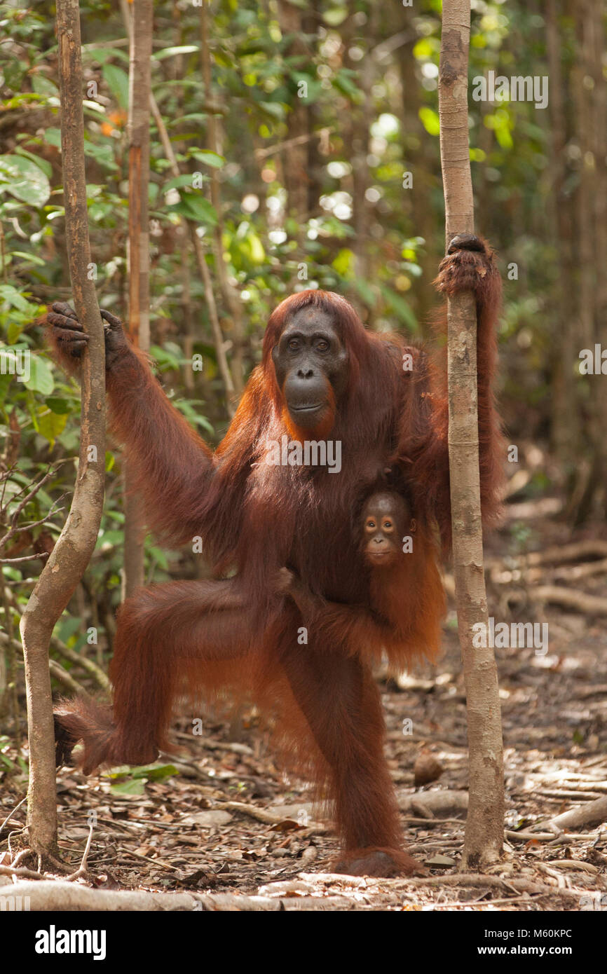 Wild orangutan mother standing in the forest with baby clinging to her fur, Tanjung Puting National Park, Borneo - Stock Image