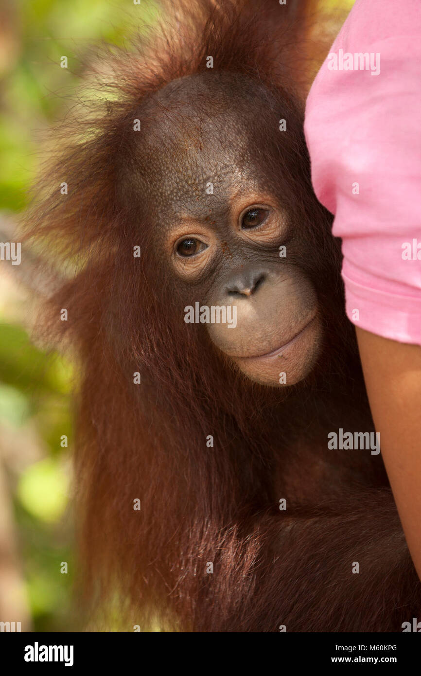 Rescued orphan orangutan on caregiver's back while being carried, Orangutan Care Center - Stock Image