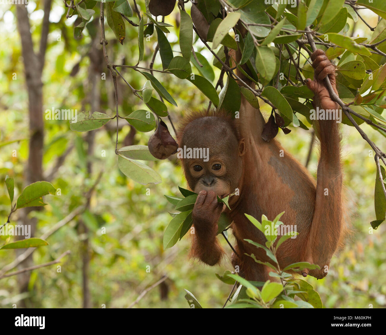 Curious baby orphan orangutan (Pongo pygmaeus) playing with leaves while hanging from tree in forest training session - Stock Image