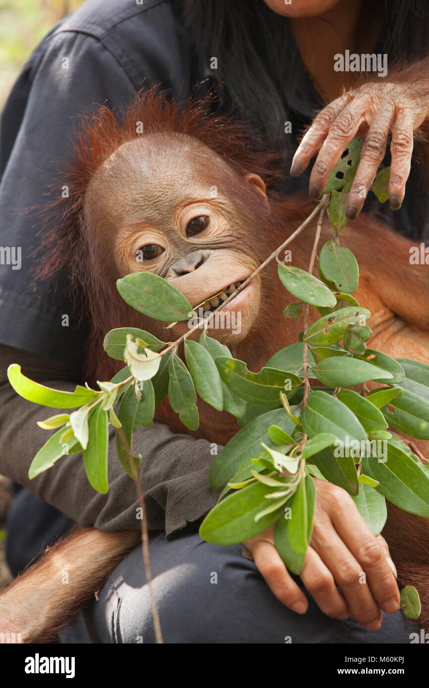 Baby orphan orangutan (Pongo pygmaeus) playing with leaves in forest training session at the Orangutan Care Center - Stock Image