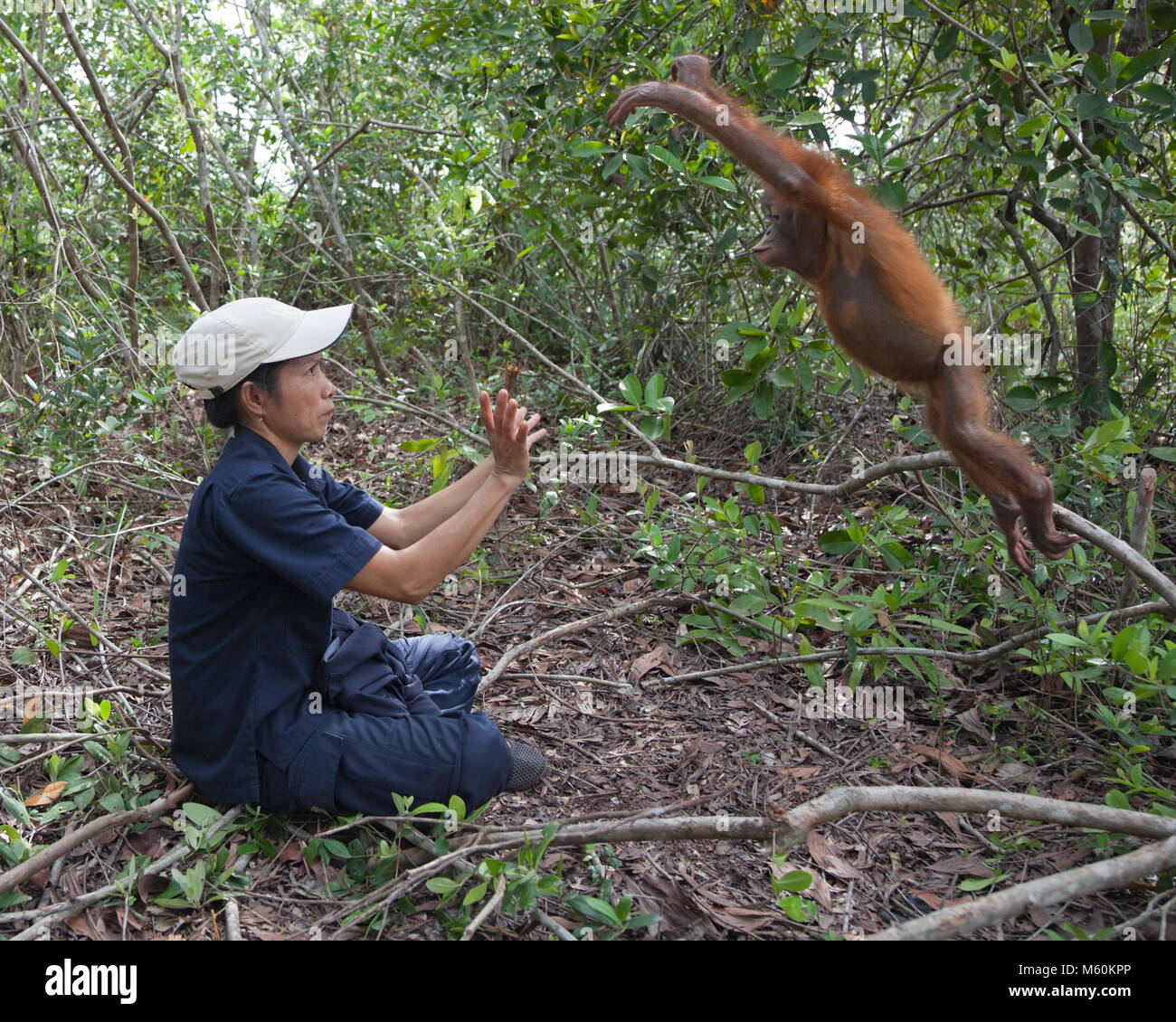 Two year old orangutan orphan jumping from tree branch into caretaker's arms, during forest play session to - Stock Image