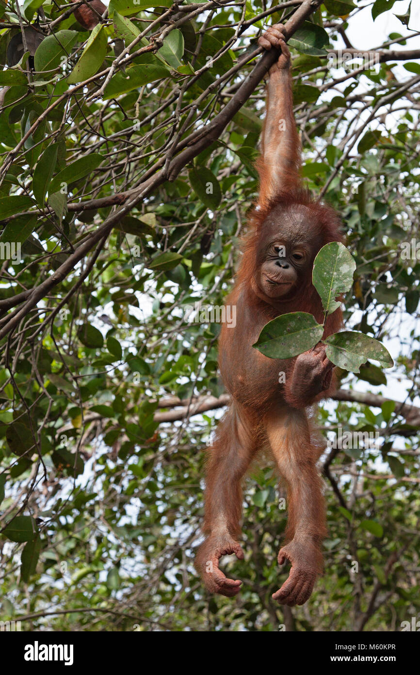 Rescued orangutan in tree hanging from one arm and looking at leaves during forest play and training session at - Stock Image