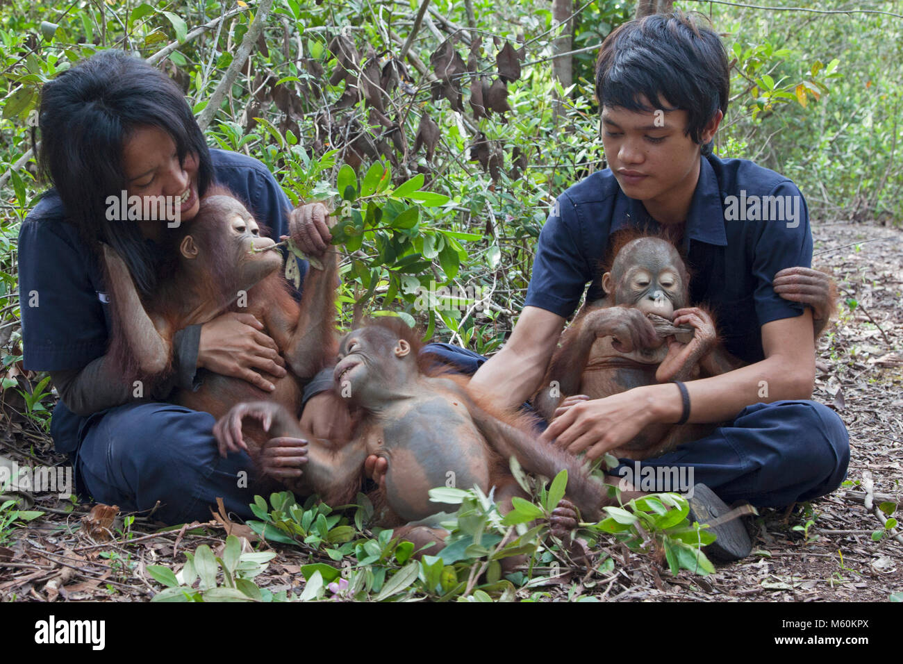 Baby orphan orangutans in rainforest play session with caregiver at the Orangutan Care Center  to prepare for eventual - Stock Image