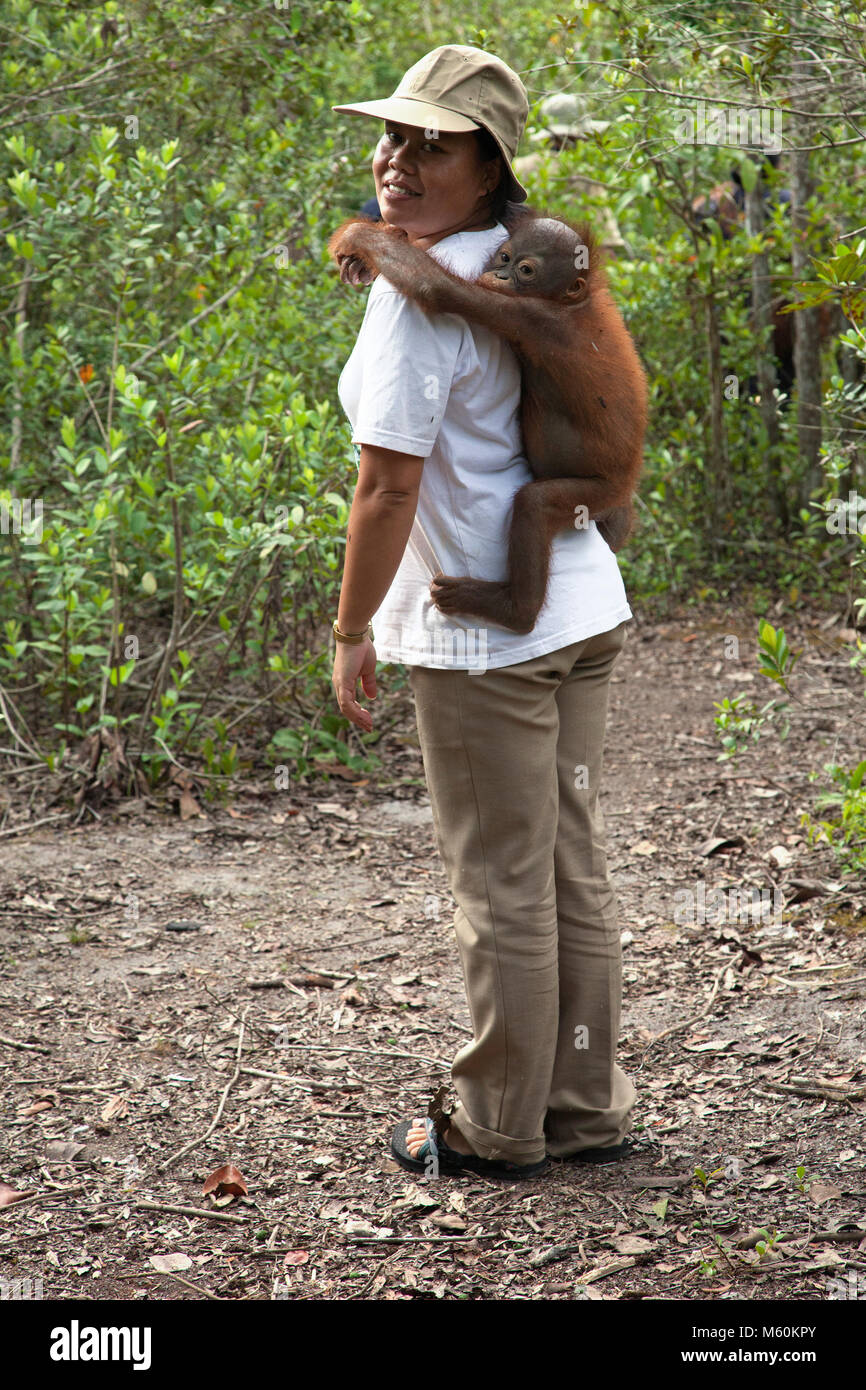 2 year old baby orphan orangutan clinging to caretaker on the way to an outdoor forest play and training session - Stock Image