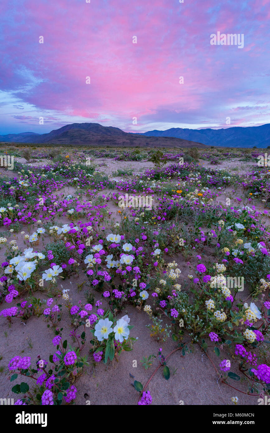 Dawn, Sand Verbena, Morning Glory, Dune Evening Primrose, Anza-Borrego Desert State Park, California - Stock Image