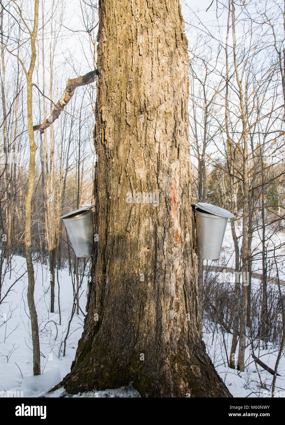 The first run of sap in Ontario for the 2018 maple syrup season. - Stock Image