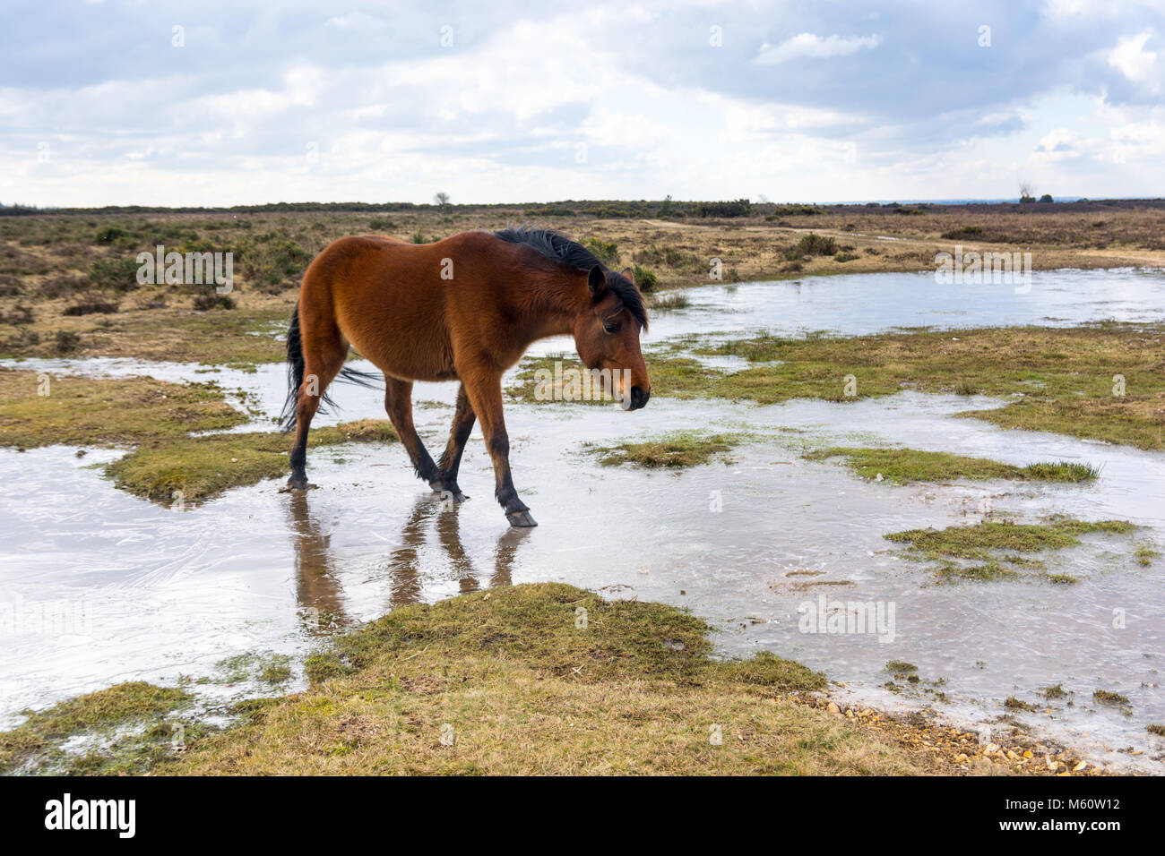 New Forest, Hampshire, UK, 27th February 2018. UK Weather: Ponies find their normal watering holes slippery underfoot - Stock Image