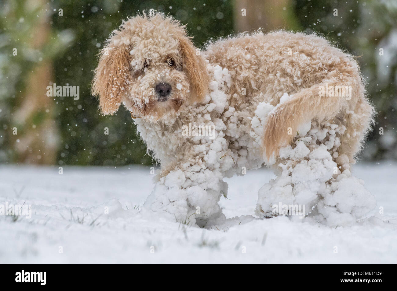 U.K. Weather. Mansfield,  England. 27th. February 2018. . Cockapoo puppy playing in a fresh layer of snow for its - Stock Image