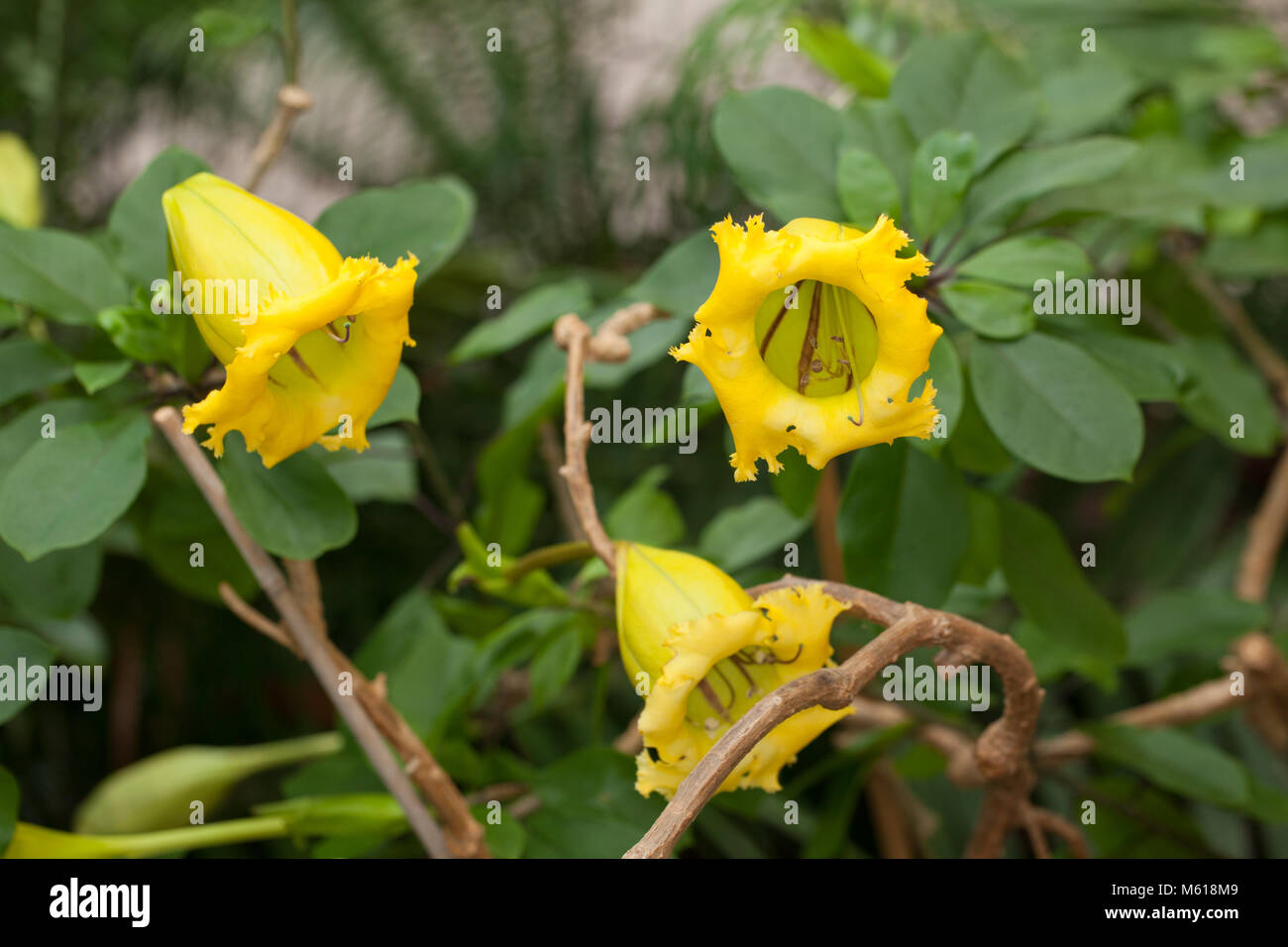Yellow Cup Wildflower Stock Photos Yellow Cup Wildflower Stock