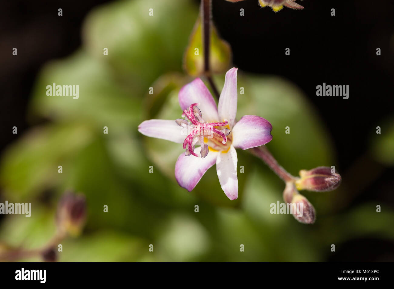 'Tojen' Japanese orchid lily, Hårig skugglilja (Tricyrtis hirta) Stock Photo