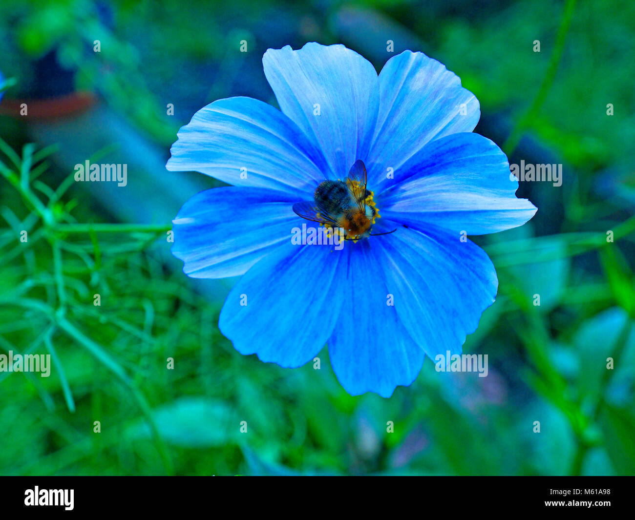 Honey bee sucking nectar from a cosmos flower - Stock Image