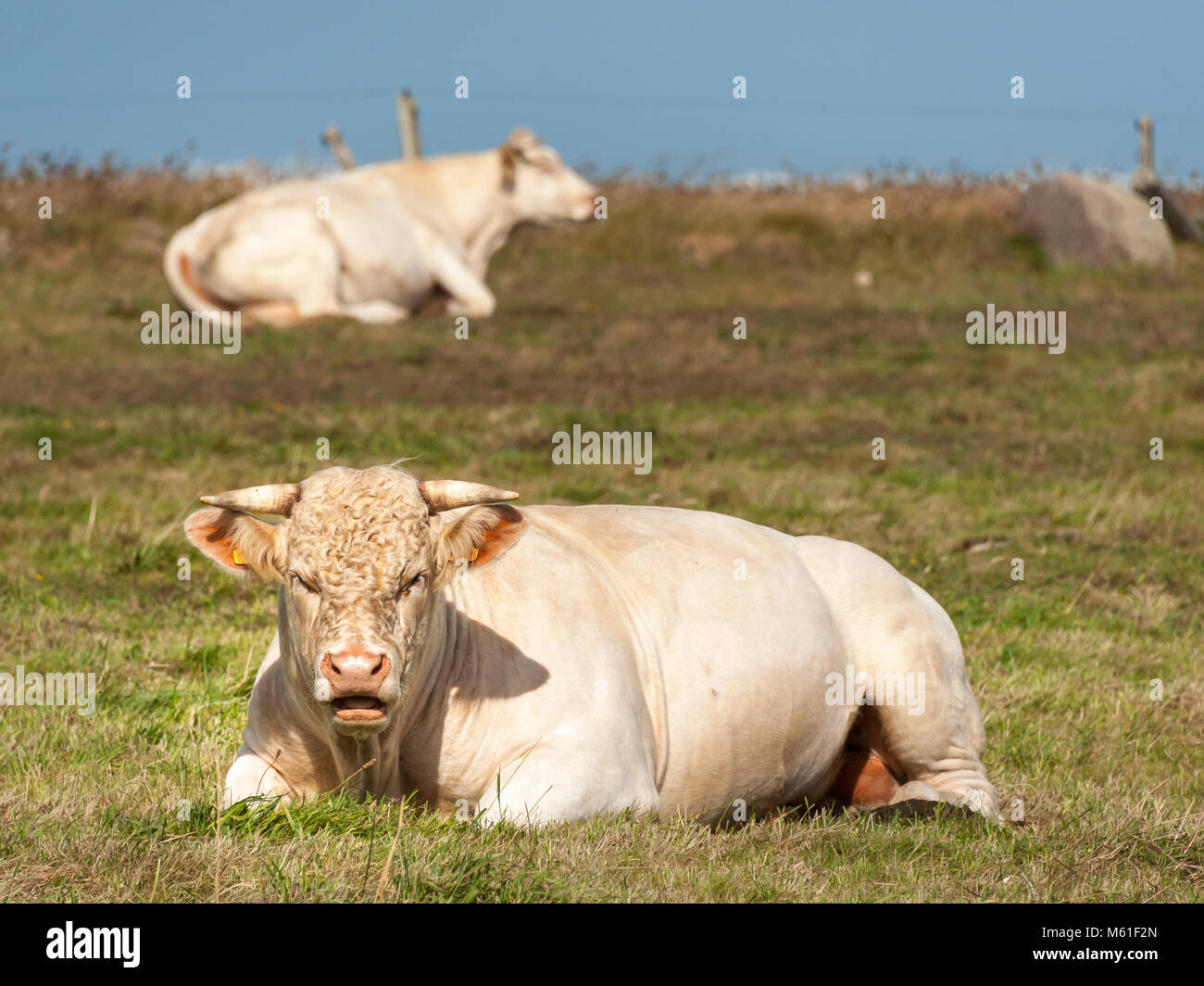 A white ruminating cow laying on a meadow, Normandy France - Stock Image