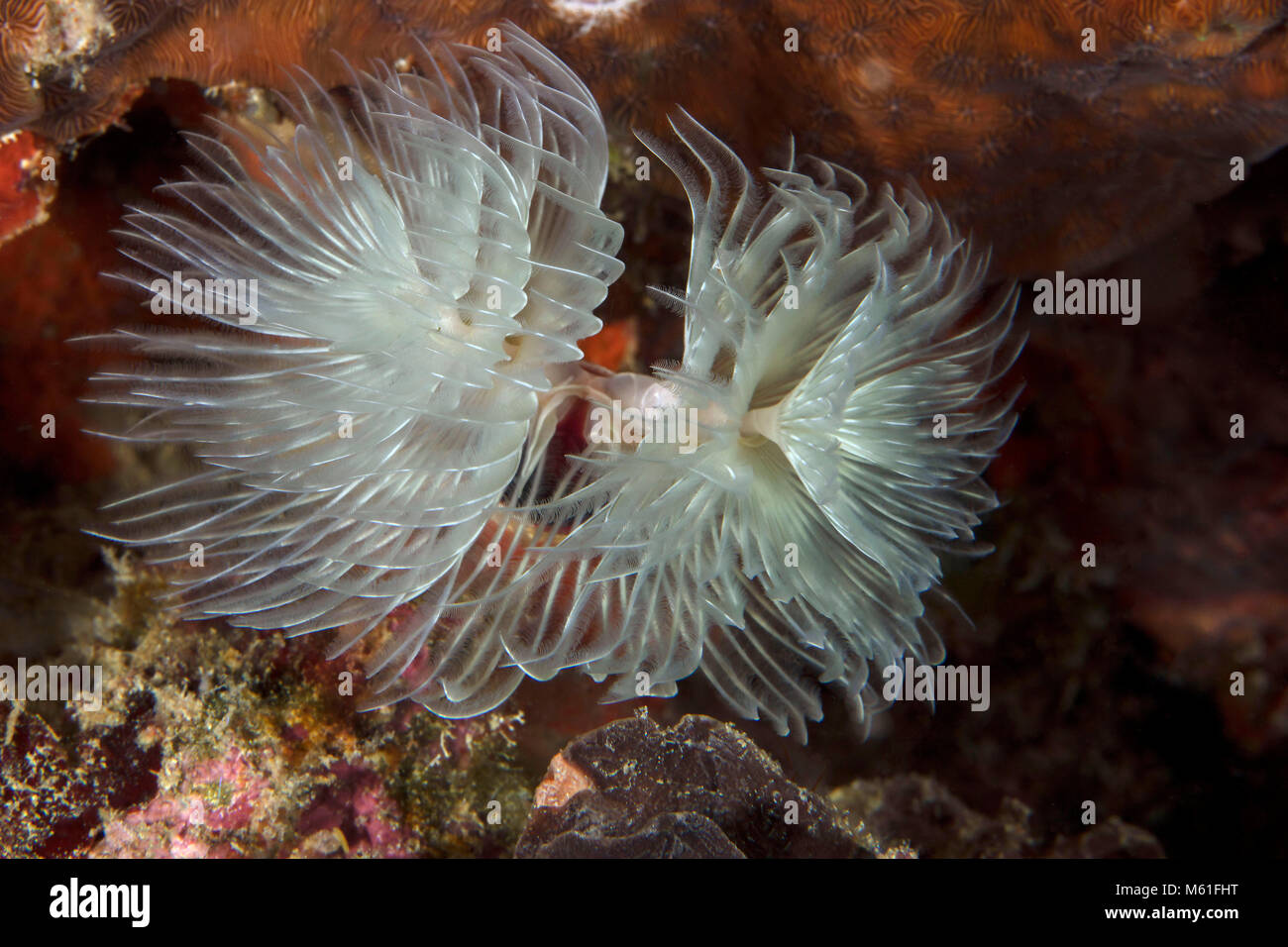Magnificent Feather Duster Worm (Protula magnifica) near Panglao Island, Philippines Stock Photo